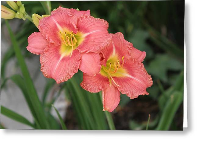 Pink Asiatic Lily Greeting Card by Allan Levin