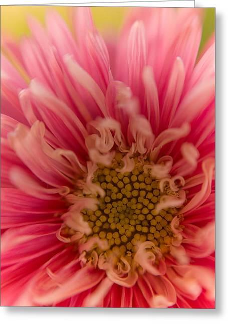 Pink Aster Greeting Card by Benita Walker