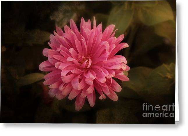 Greeting Card featuring the photograph Pink Aster by Marjorie Imbeau
