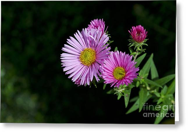 Greeting Card featuring the photograph Pink Asters On Black by Maria Janicki