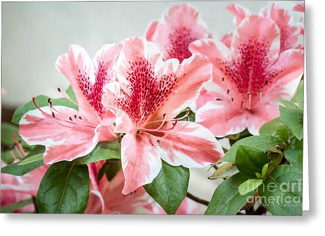 Greeting Card featuring the photograph Pink Azaleas by Todd Blanchard