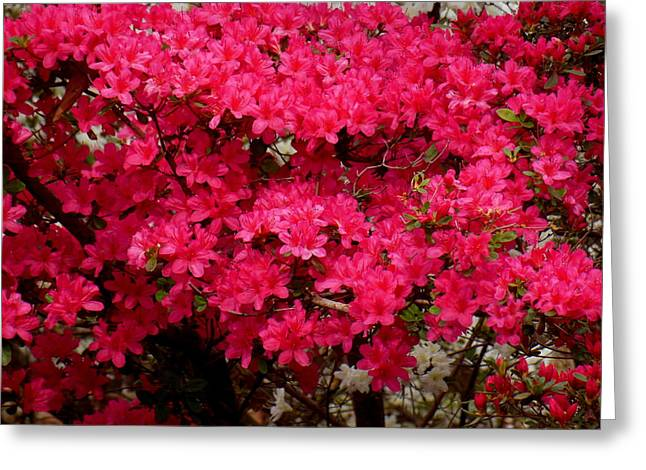 Pink Azaleas Greeting Card by Virginia Forbes