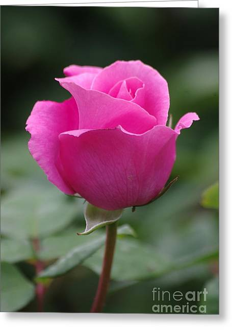 Pink Beauty Greeting Card by Tannis  Baldwin