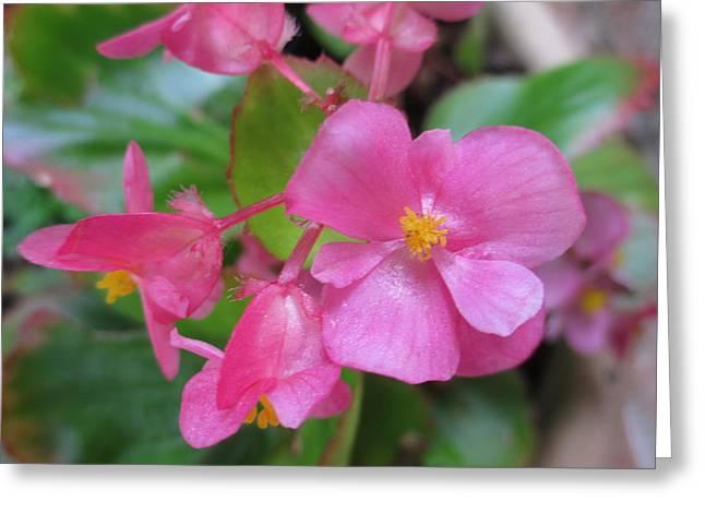 Pink Begonias Greeting Card