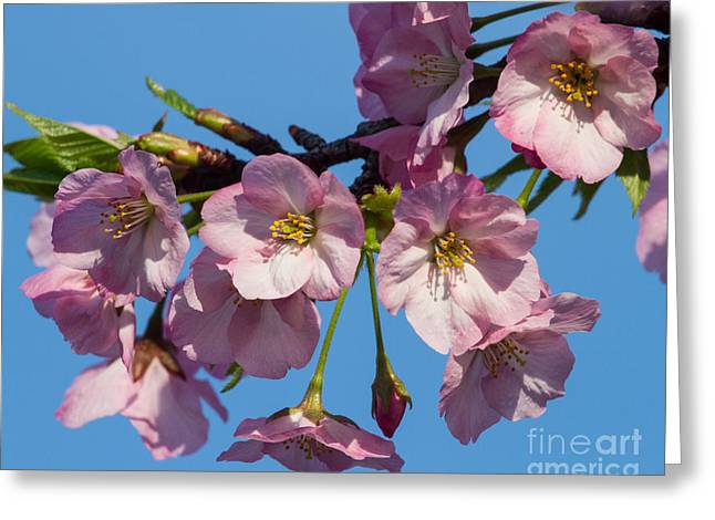 Pink Blossoms-3 Greeting Card
