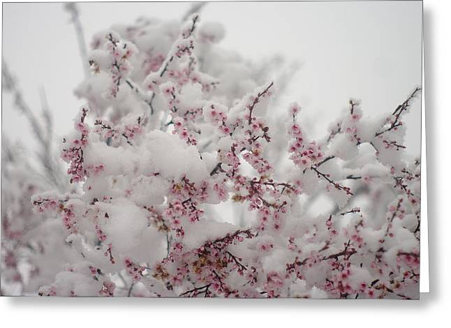 Pink Spring Blossoms In The Snow Greeting Card by Suzanne Powers