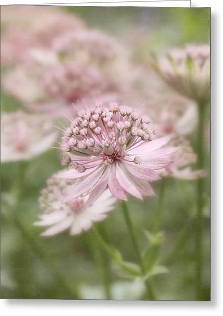 Pink Blush Greeting Card by Kim Hojnacki