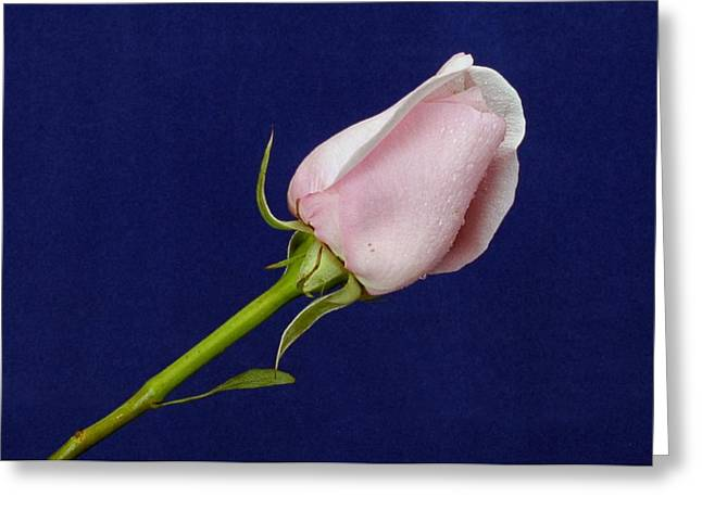 Pink Bud Greeting Card by Michael Gordon