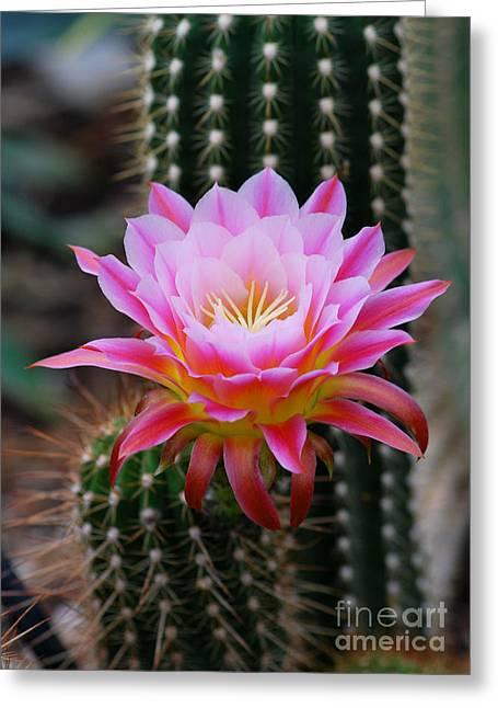 Pink Cactus Flower Greeting Card by Nancy Mueller