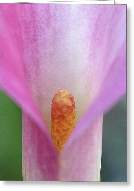 Pink Calla Lily Close-up Greeting Card by Anna Miller
