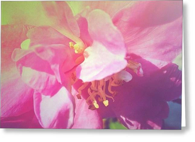Pink Camellia Vintique Edit Greeting Card by Anna Porter
