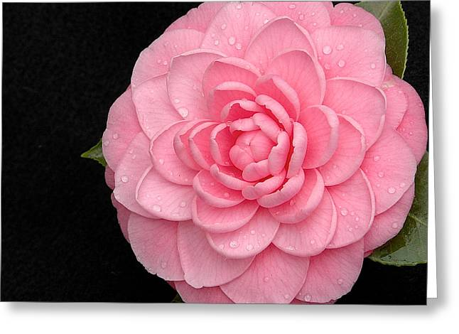 Pink Camellia After Rain Greeting Card