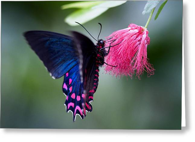 Greeting Card featuring the photograph Pink Cattleheart Butterfly by Zoe Ferrie
