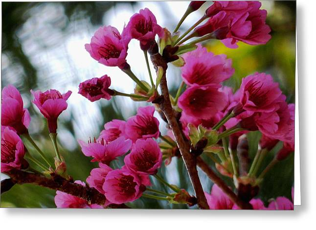 Pink Cherry Blossoms Greeting Card by Pamela Walton