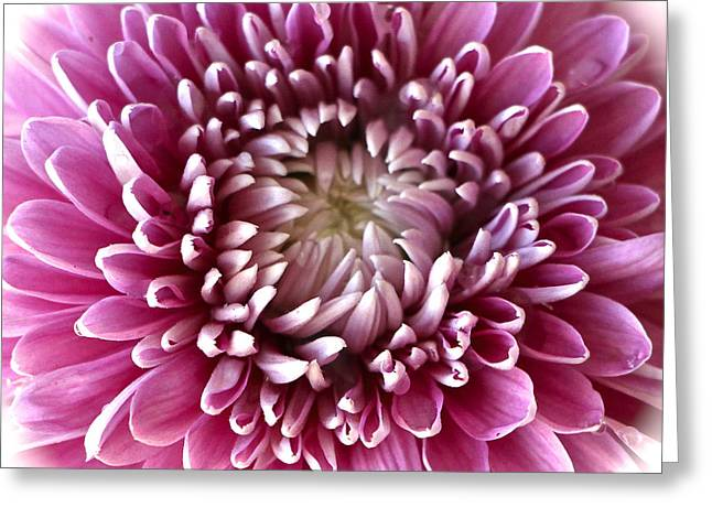 Pink Chrysanthemum Greeting Card by Venetia Featherstone-Witty
