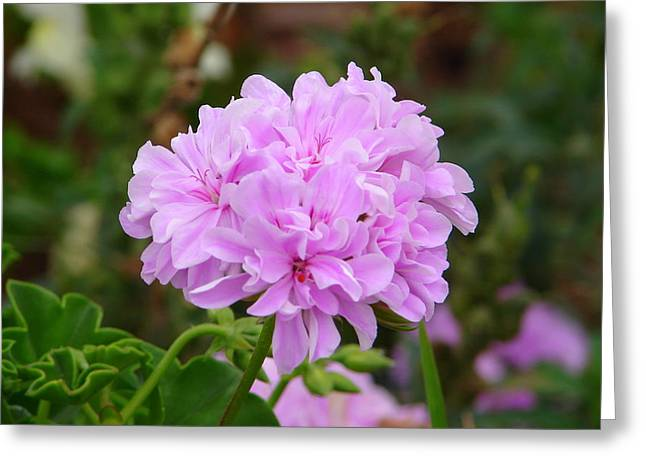 Greeting Card featuring the photograph Pink Cluster by Lew Davis