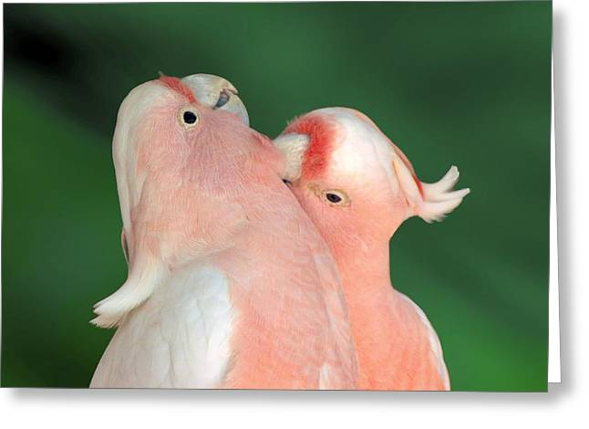 Pink Cockatoo Couple Greeting Card