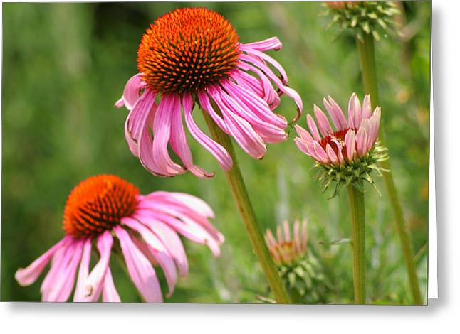 Pink Cone Flower Greeting Card by Art Block Collections
