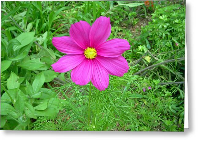 Pink Cosmos Greeting Card by Aimee L Maher Photography and Art Visit ALMGallerydotcom