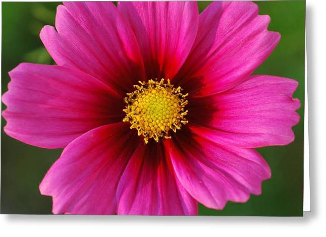 Pink Cosmos Greeting Card by Kathleen Struckle
