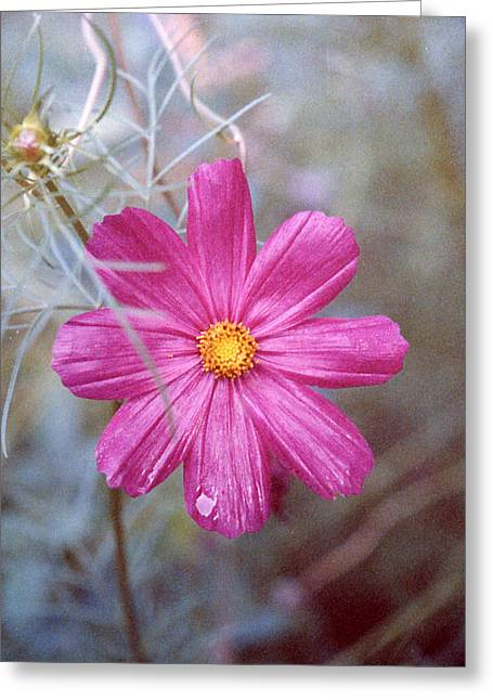 Pink Cosmos Greeting Card