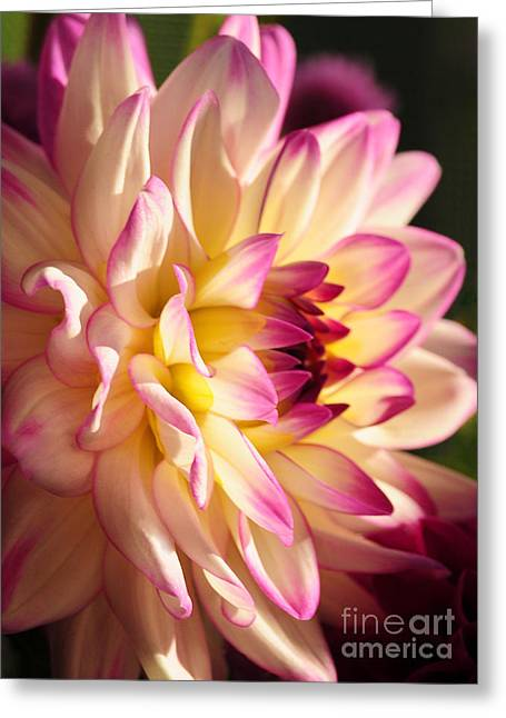 Pink Cream And Yellow Dahlia Greeting Card