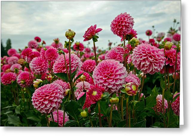 Pink Dahlia Field Greeting Card