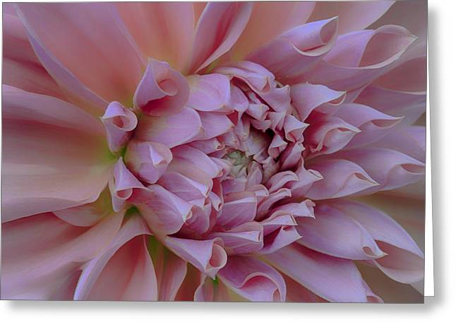 Pink Dahlia Greeting Card by Jacqui Boonstra