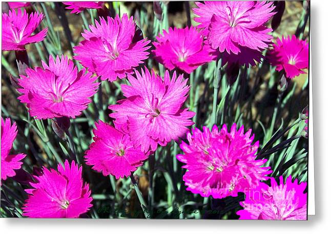 Greeting Card featuring the photograph Pink Daisies by Gena Weiser