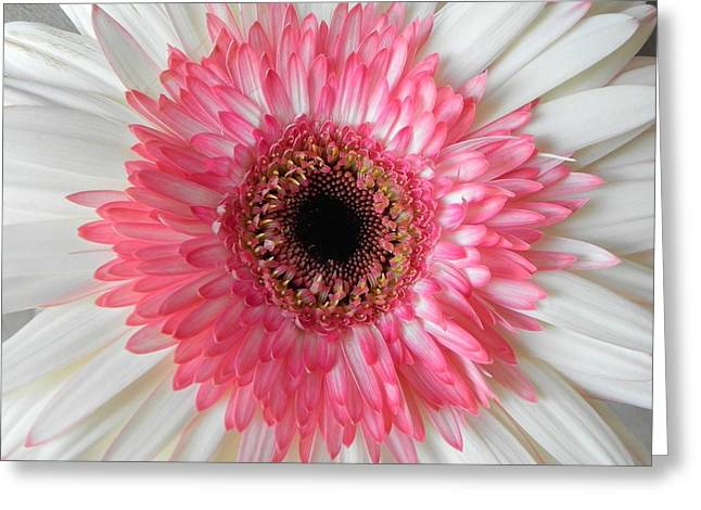 Pink Daisy Flower Greeting Card