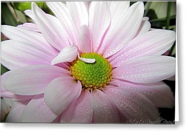 Pink Daisy Freshness With Water Droplets Greeting Card by Danielle  Parent