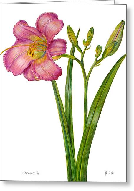 Pink Daylily - Hemerocallis Greeting Card