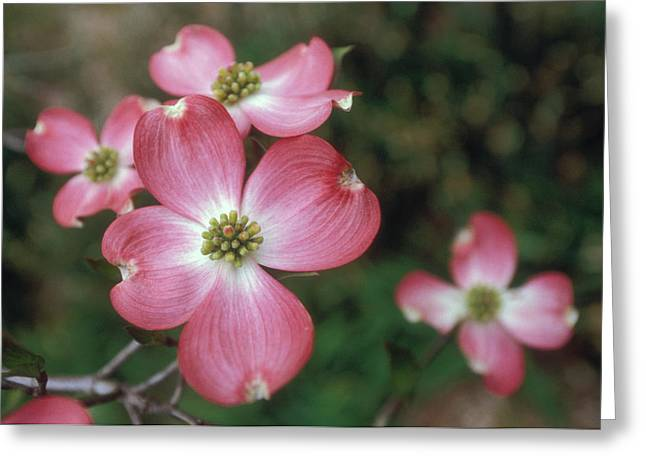 Pink Dogwood Blooms Greeting Card by Anna Miller