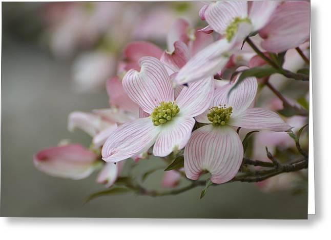 Pink Dogwood Blooms Greeting Card