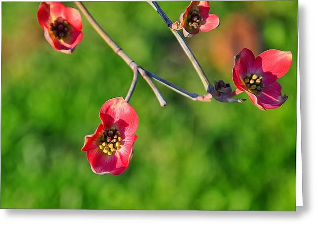 Pink Dogwood Blossoms Greeting Card by Chris Flees