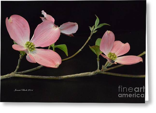 Greeting Card featuring the photograph Pink Dogwood Branch  by Jeannie Rhode