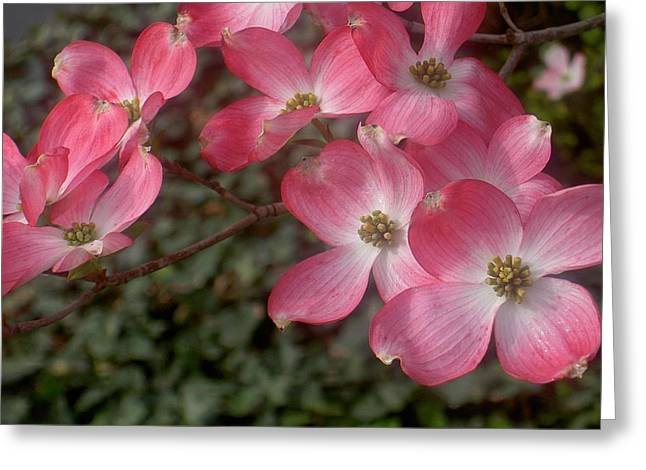 Pink Dogwood Delight Greeting Card