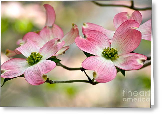 Pink Dogwood Splendor Greeting Card