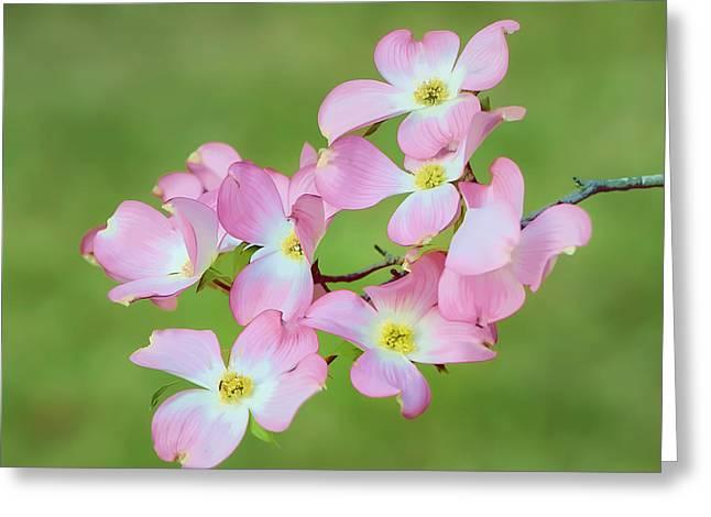 Pink Dogwood Watercolor Greeting Card by Dan Holland