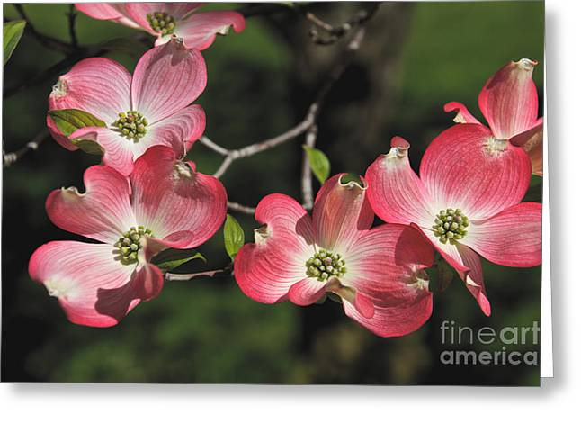 Pink Dogwood Greeting Card
