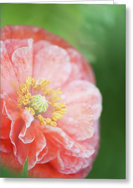 Pink Double-ruffled Shirley Poppy Greeting Card by Maria Mosolova