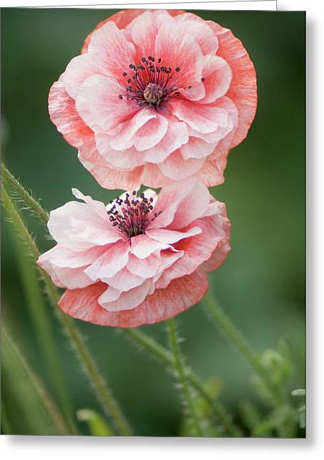 Pink Double Shirley Poppies Greeting Card