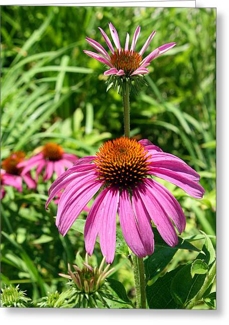 Greeting Card featuring the photograph Pink Echinacea by Ellen Tully