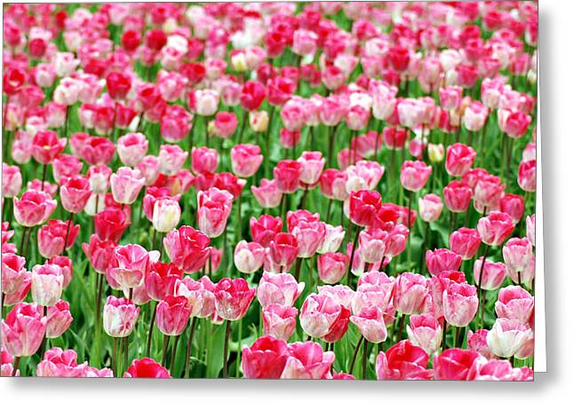 Greeting Card featuring the photograph Pink Field by Kjirsten Collier
