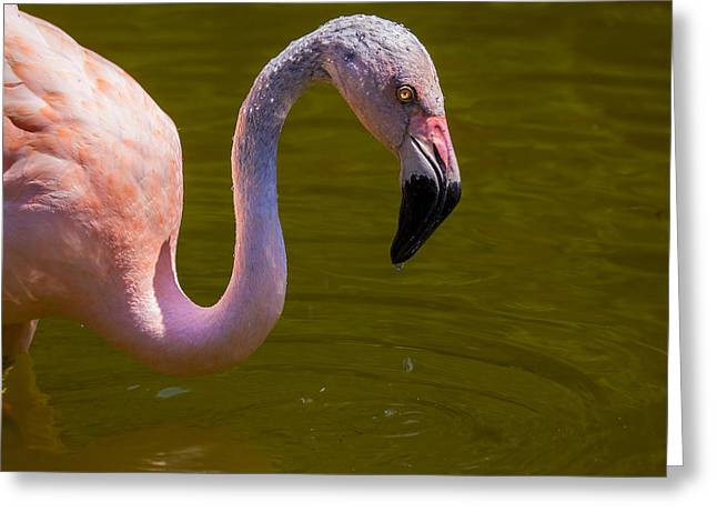 Pink Flamingo Greeting Card by Garry Gay