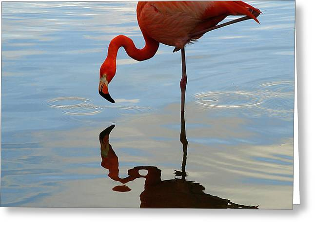 Pink Flamingo   Greeting Card by Raymond Earley