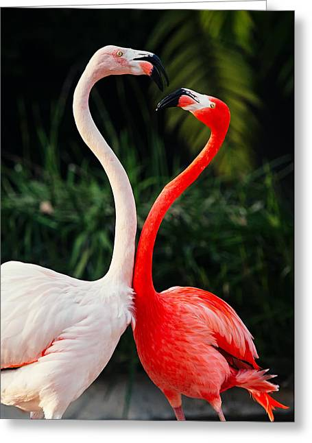 Pink Flamingos - Who's The Boss? Greeting Card by Photography  By Sai