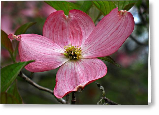 Greeting Card featuring the photograph Pink Flowering Dogwood by William Tanneberger