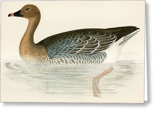 Pink Footed Goose Greeting Card by Beverley R Morris