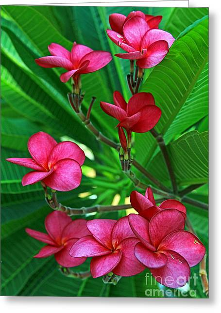 Greeting Card featuring the photograph Pink Frangiapani - Plumeria by Larry Nieland